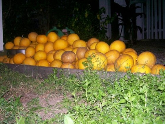 Many, many grapefruit.