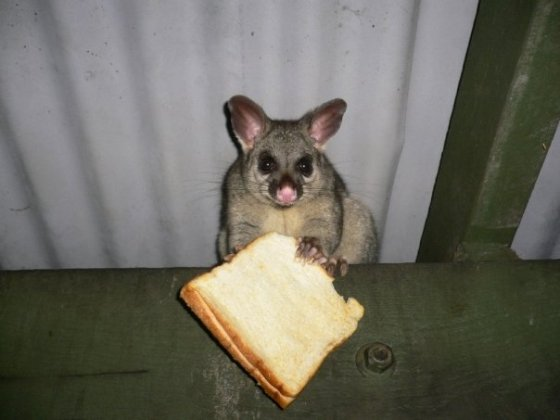 Cheeky possums eat everything, including bread, grapefruits, passionfruit, pawpaws and people's herb and vegetable gardens. They especially like the flavour of chili and garlic.