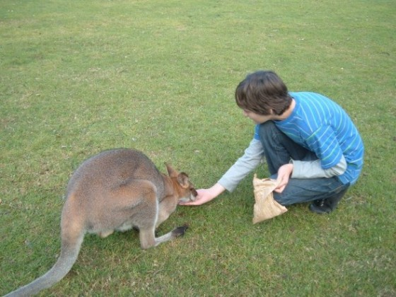 Mr Teeny-bop feeding a kangaroo at Lone Pine Sanctuary