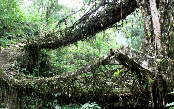 Root bridges in India