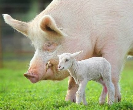 Giant Edgar Alan Pig and a little lambie friend.