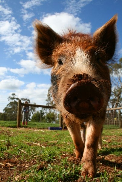 Hamish the pig from Edgar's Mission.