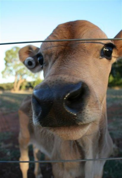 Hansel - one of the newest 'bobby' calves at Edgar's Mission; his life now saved.