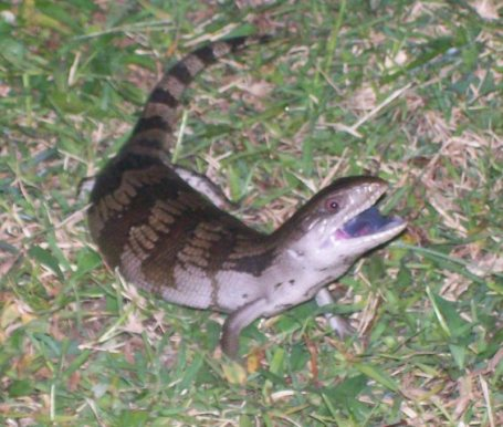 blue tongue lizard showing tongue