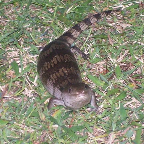 blue tongue lizard, mouth shut