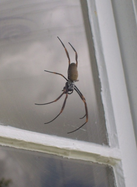 A female golden orb weaver spider living outside our kitchen window.