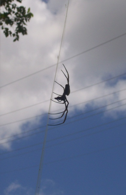 golden orb weaver - side view