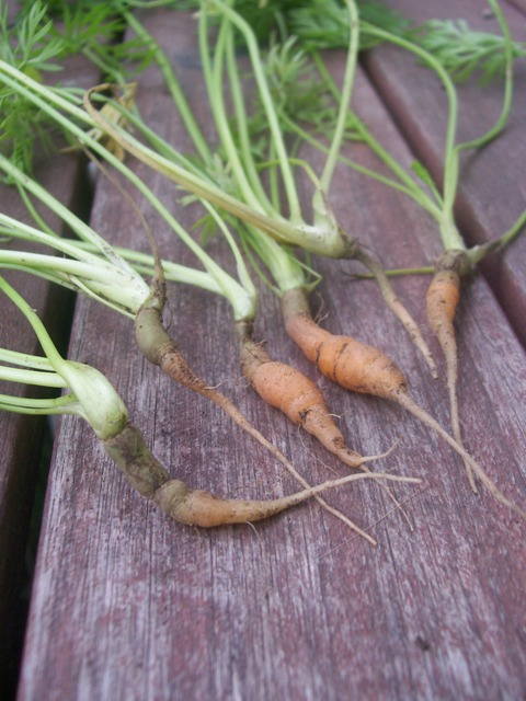 stunted carrots