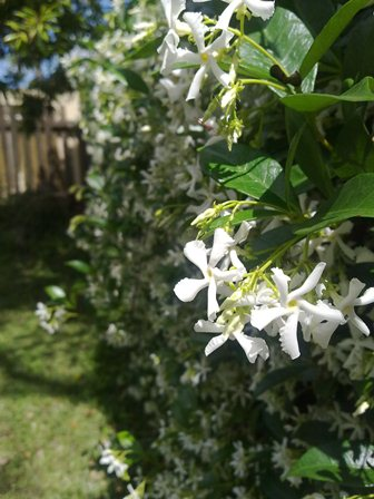 close up of jasmine
