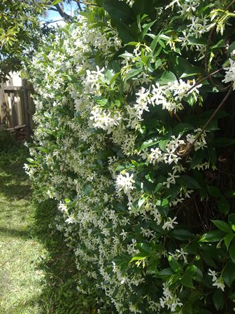 jasmine on the fence