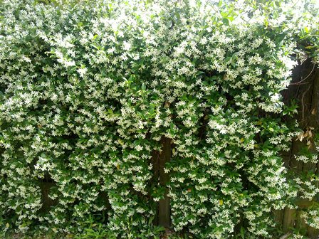 lots of jasmine on the fence